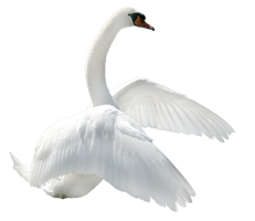 Swan PNG by LG-Design