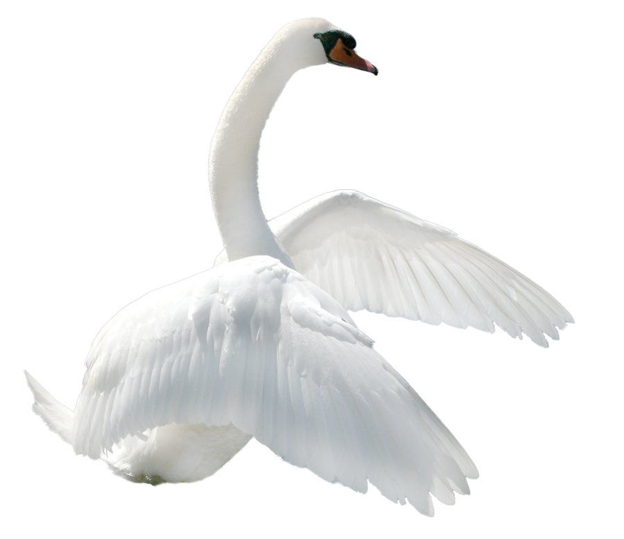 نتيجة بحث الصور عن سكرابز طيور بيضاء