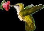 Colibri PNG
