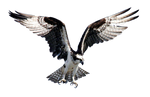 Hawk Fisher PNG