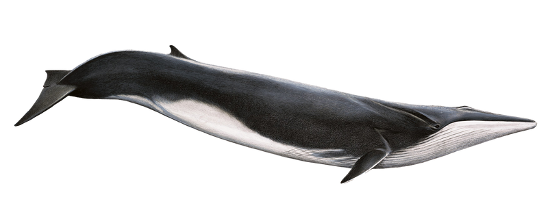 Fin Whale PNG by LG-Design
