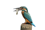 Kingfisher PNG