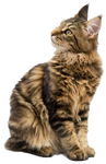 Maine Coon PNG