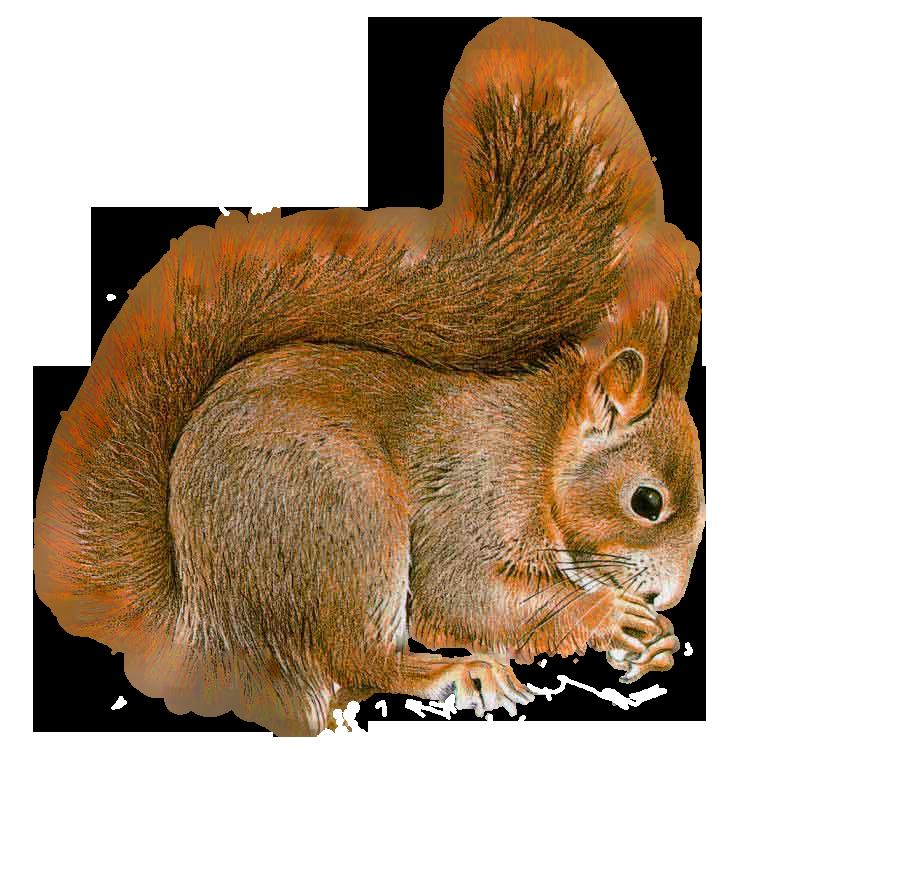 Design Png Transparent Squirrel Png by lg Design