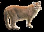 Cougar PNG