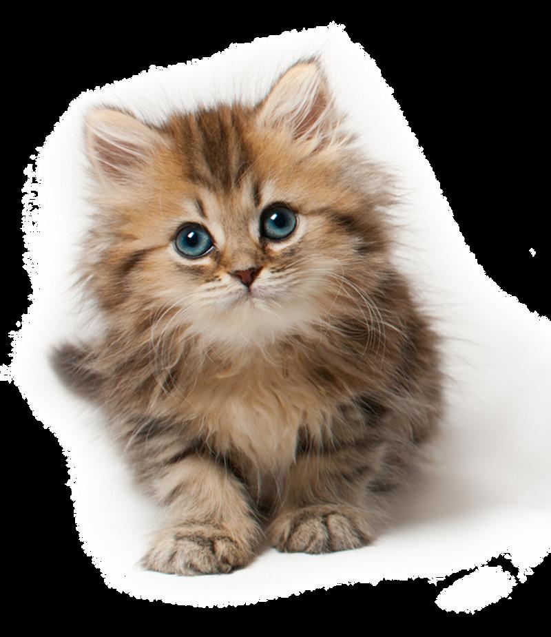 Design Png Transparent Kitten Png by lg Design