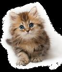 Kitten PNG