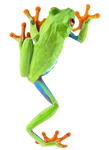 Frog 2 PNG
