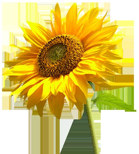 sunflower png by lg design on deviantart. Black Bedroom Furniture Sets. Home Design Ideas