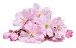 Cherry Blossoms PNG