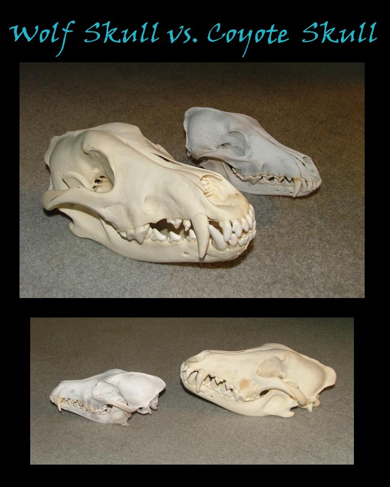 Coyote skull vs wolf skull - photo#1