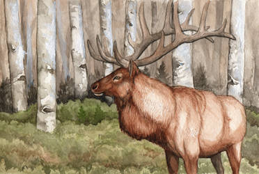Bull Elk by Gray-Ghost-Creations