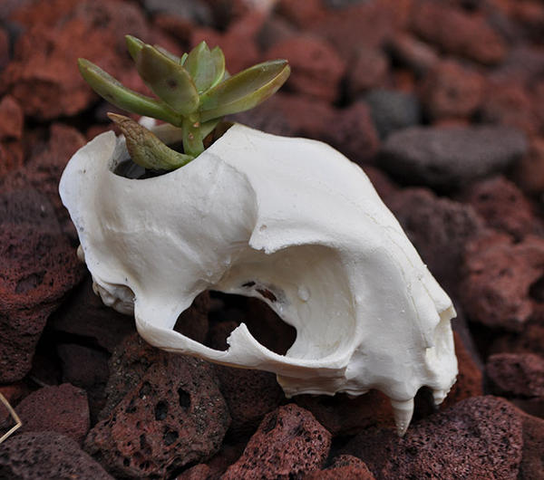 HandMade Replica Bobcat Skull Flower Planter by MorRokko