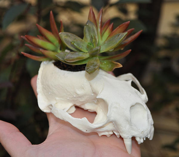 Succulent in the Sun - Handmade skull replica by MorRokko