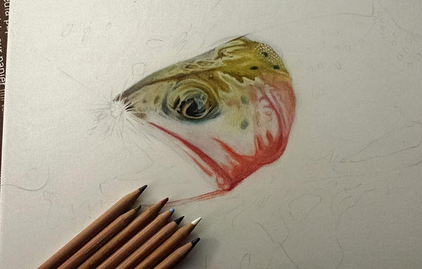 Greenback Cutthroat Trout Work In Progress by MorRokko