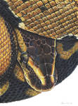 Ball Python by Gray-Ghost-Creations