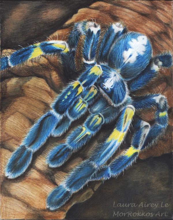 Gooty Sapphire Tarantula by MorRokko