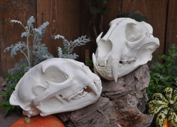 Lion and Leopard Hand Made Skulls by MorRokko