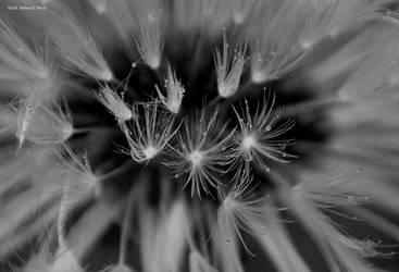Dandelion by abstractcamera