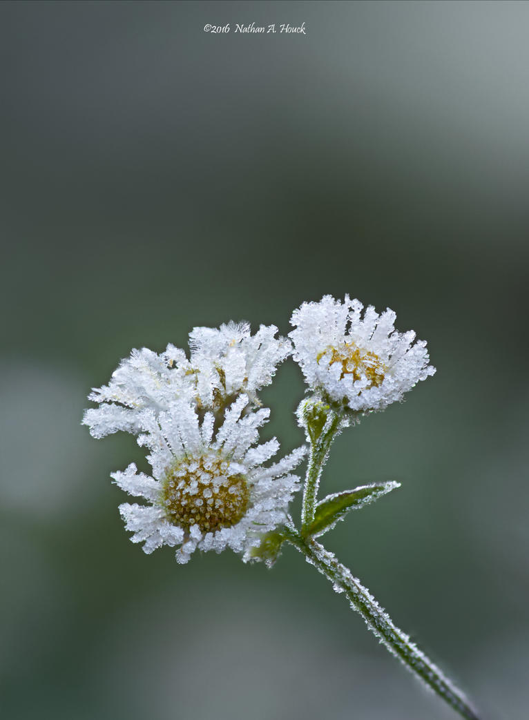 Frosty little flowers by abstractcamera