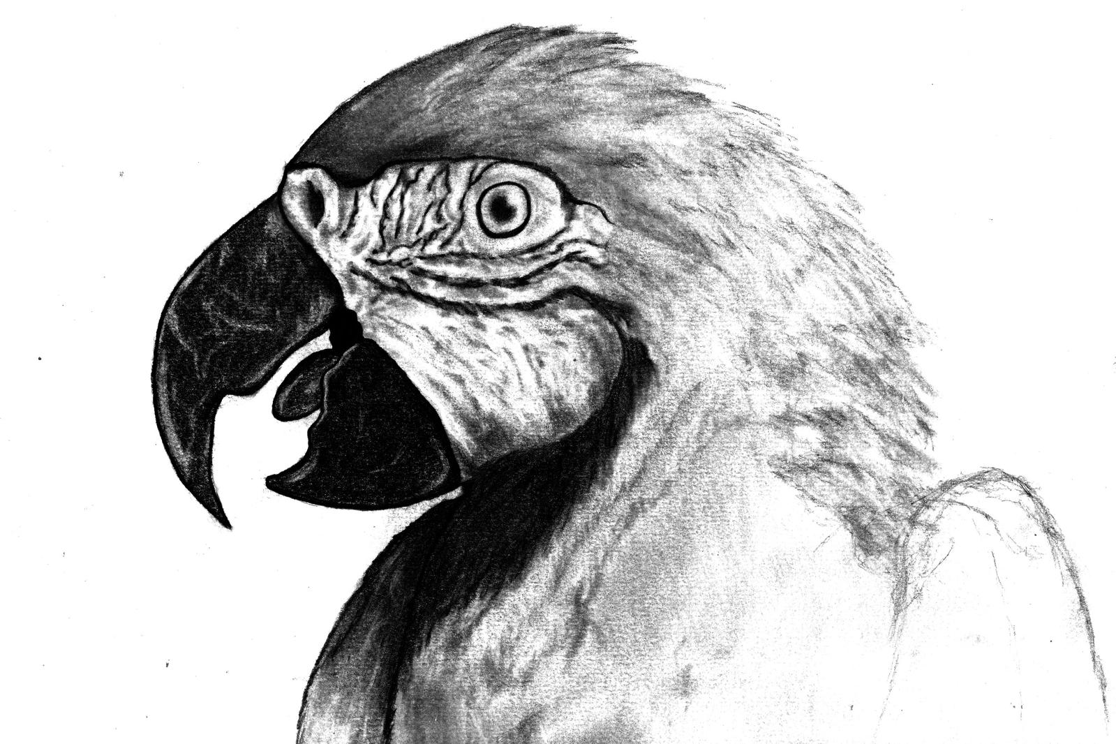 parrot made by pencil by leonardoalves94 on deviantart