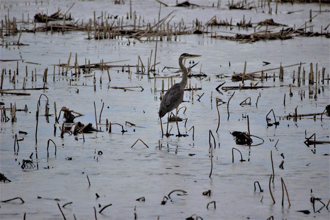 Blue Heron by mrcbax