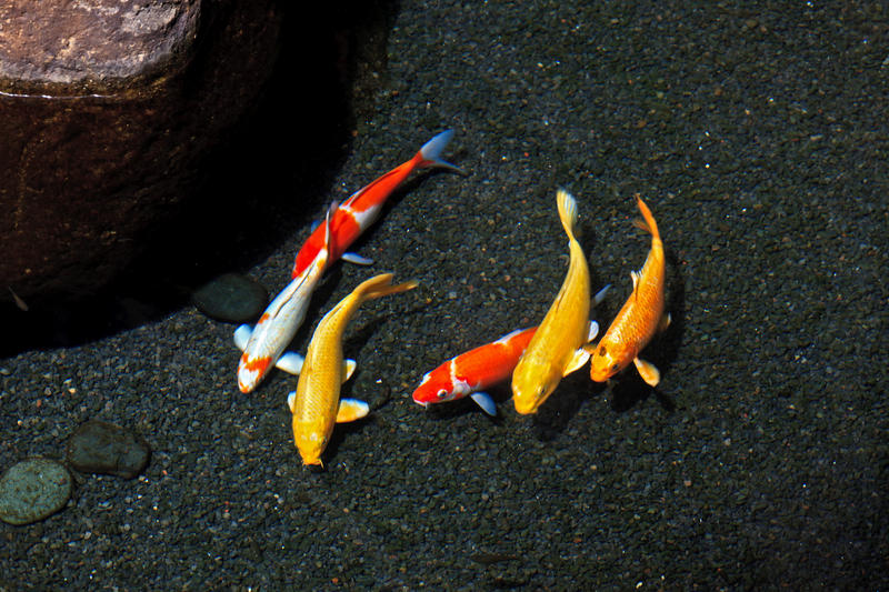 colorful koi fish by naturephoto5 on deviantart