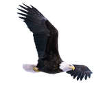 Eagle stock PNG