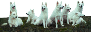 Herd of White Shepherds stock PNG
