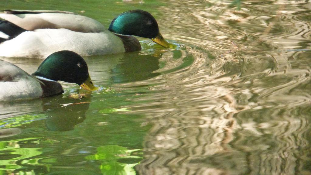 Ducks 1 by Lesaupastel