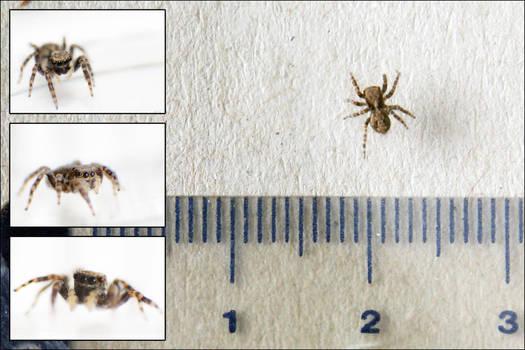 Tiny Spider Original Size