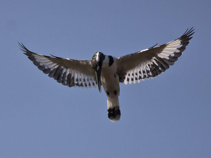Kingfisher Above - I by InayatShah
