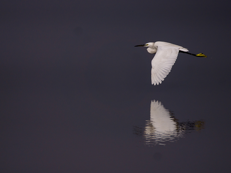 Reflections Of An Egret by InayatShah