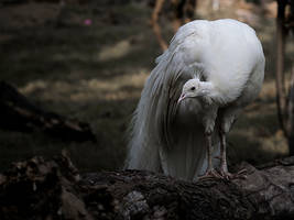 Albino Bird-I by InayatShah