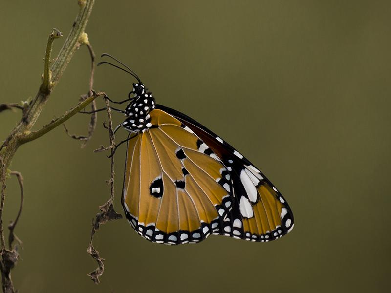 Basking Butterfly - II by InayatShah