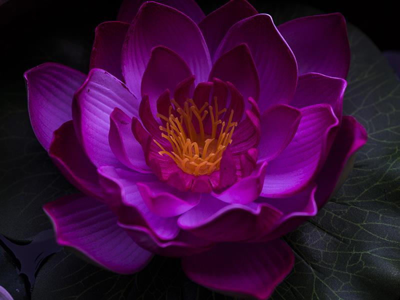 Lotus Blossom by InayatShah