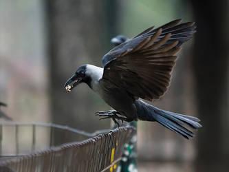 Crow On A Fence - I by InayatShah