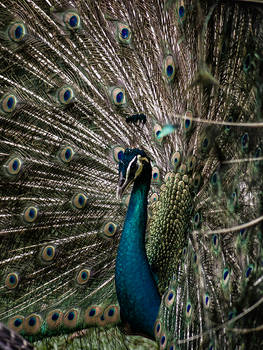 Peacock Posed