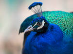 Peacock Portrait -I