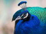 Peacock Portrait -I