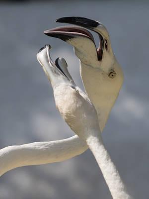 Fighting Flamingo -IV by InayatShah