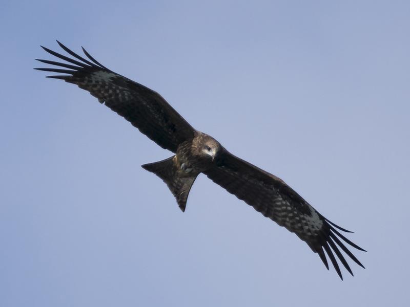 Sea Eagle - I by InayatShah