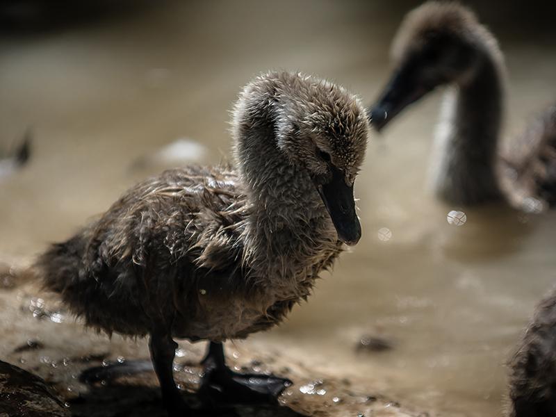 Black Swan Cygnet by InayatShah