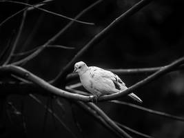 Doves n Branches - I by InayatShah