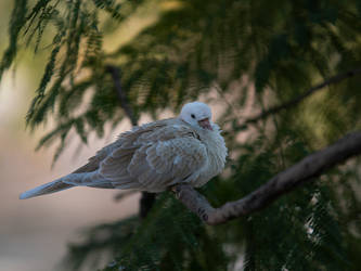 Fluffy Dove On A Branch by InayatShah