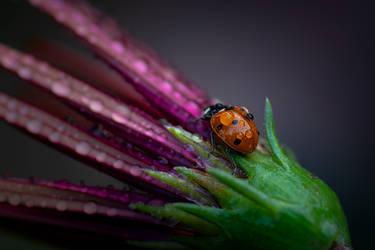 LadyBug - I