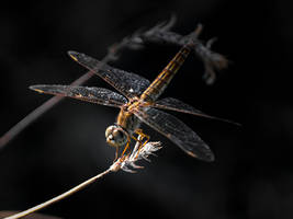 Dragonfly On A Perch