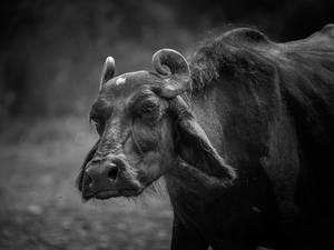 Grumpy Ole Buffalo