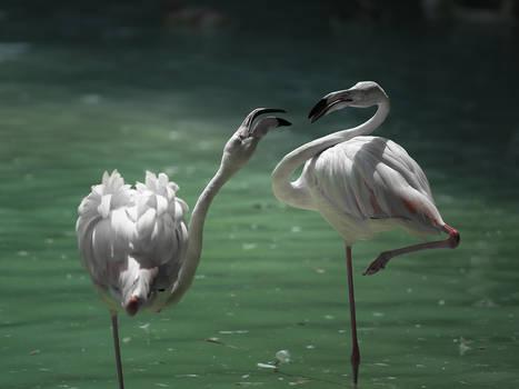 Flamingo Ballet