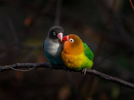Loving Lovebirds